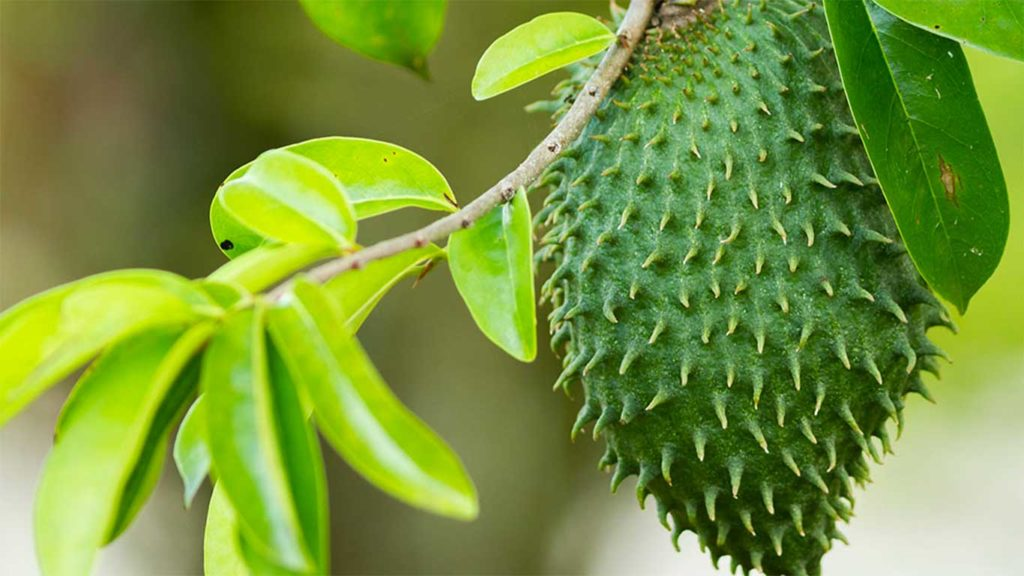 """rich results on google's SERP when searching for  """"soursop nutrition"""""""